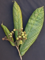 Cordia dwyeri Fruit Leaf