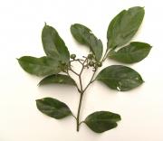 Cordia eriostigma Fruit Leaf
