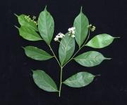 Cordia lasiocalyx Flower Leaf