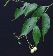 Cordia lasiocalyx Fruit Leaf