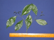 Cordia lasiocalyx Leaf