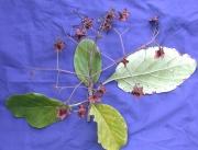 Cordia megalantha Fruit Leaf