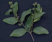 Cordia panamensis Flower Leaf