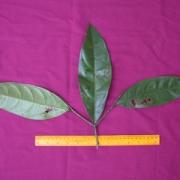 Cordia porcata Leaf