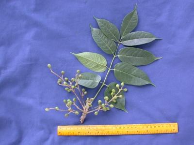 Bursera simaruba Fruit Leaf