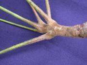 Bursera simaruba Leaf