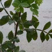 Bursera tomentosa Leaf