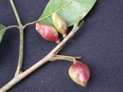 Protium confusum Fruit