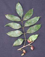 Protium confusum Fruit Leaf
