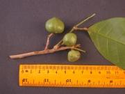 Protium glabrum Fruit