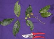Protium glabrum Fruit Leaf