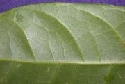 Protium glabrum Leaf