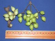 Protium panamense Fruit