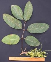 Protium panamense Flower Leaf