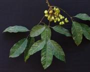 Protium panamense Fruit Leaf