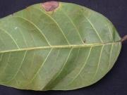 Protium panamense Leaf