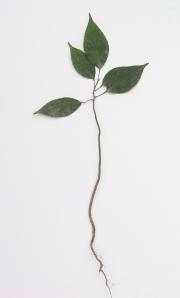 Protium panamense