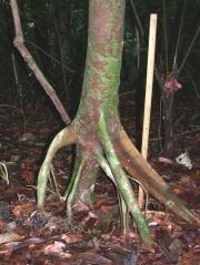 Protium panamense Trunk
