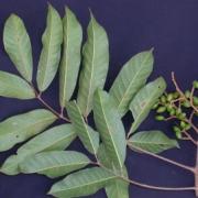 Protium tenuifolium Fruit Leaf