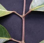 Protium tenuifolium Leaf