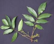 Tetragastris panamensis Flower Leaf