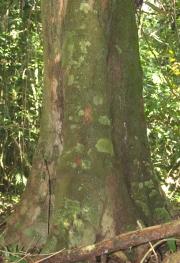 Tetragastris panamensis Trunk