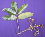 Trattinnickia aspera Fruit Leaf