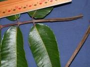 Trattinnickia aspera Leaf