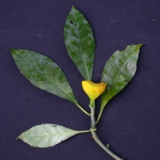 Pereskia bleo Fruit Leaf
