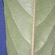 Capparis antonensis Leaf
