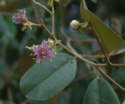 Capparis cynophallophora Flower