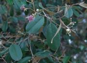 Capparis cynophallophora Flower Leaf