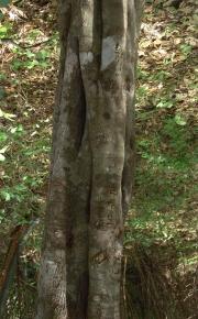 Capparis cynophallophora Trunk