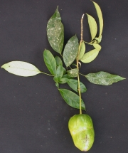 Capparis discolor Fruit Leaf