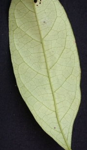 Capparis discolor Leaf