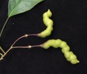 Capparis frondosa Fruit Leaf