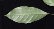 Capparis frondosa Leaf