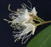 Capparis indica Flower