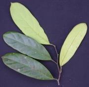Capparis panamensis Leaf