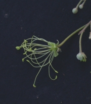 Capparis pittieri Flower
