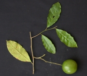 Capparis pittieri Fruit Leaf