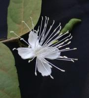 Capparis verrucosa Flower