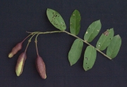 Capparis verrucosa Fruit Leaf