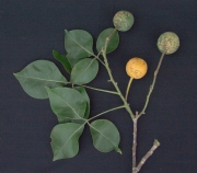 Crateva tapia Fruit Leaf