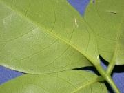 Crateva tapia Leaf