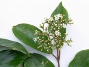 Viburnum costaricanum Flower