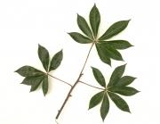 Jacaratia spinosa Leaf