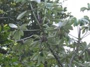 Cecropia garciae