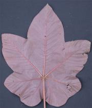 Cecropia heterochroma Leaf