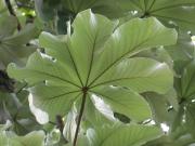 Cecropia insignis Leaf